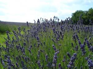 lavenderfield_01 ménage dans Produits d'entretien